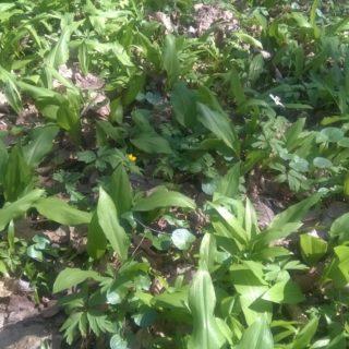 Nadzór botaniczny