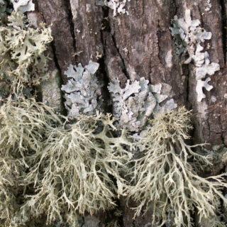 Nadzór lichenologiczny ientomologiczny podczas wycinki drzewostanu